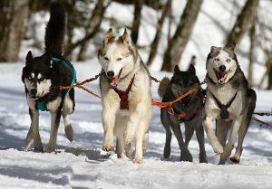 huskies-273409_640