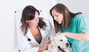 Feminisering binnen de diergeneeskunde en de invloed hiervan op ondernemerschap